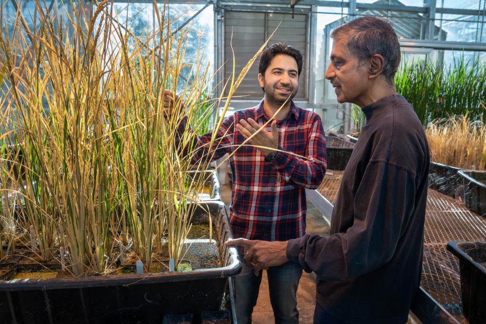 apomictic rice UC Davis