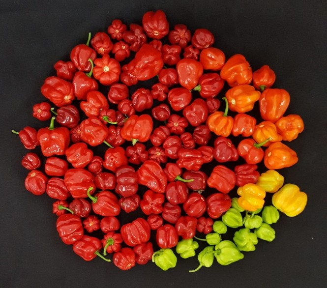 this image shows habanero peppers (a cultivated variety of capsicum chinense) credit emmanuel rezende naves