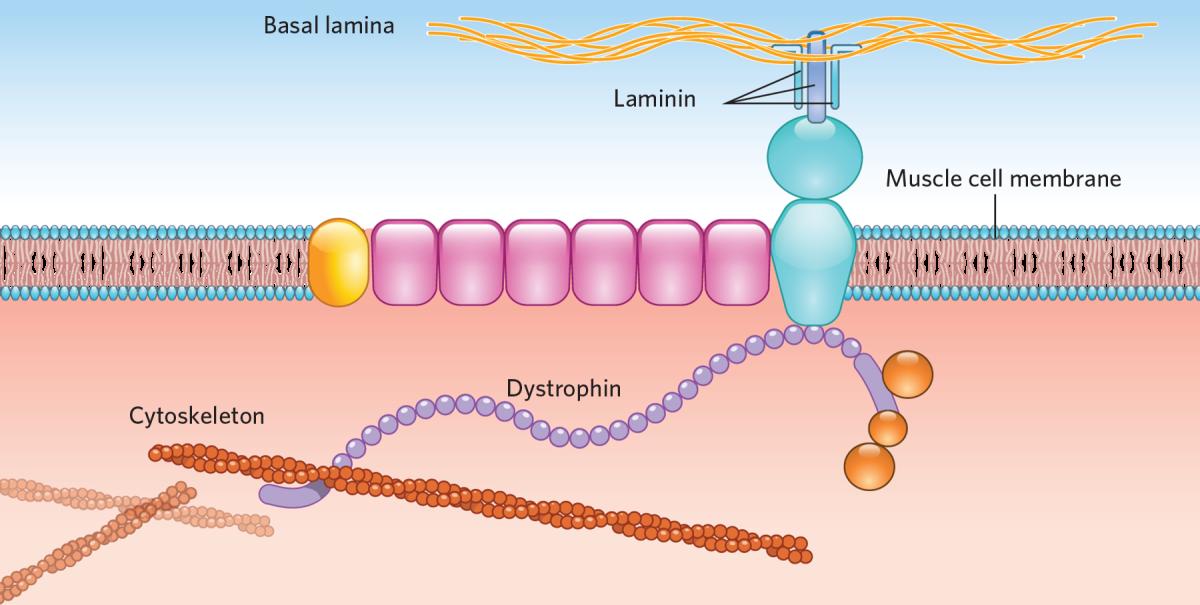 Duchenne CRISPR