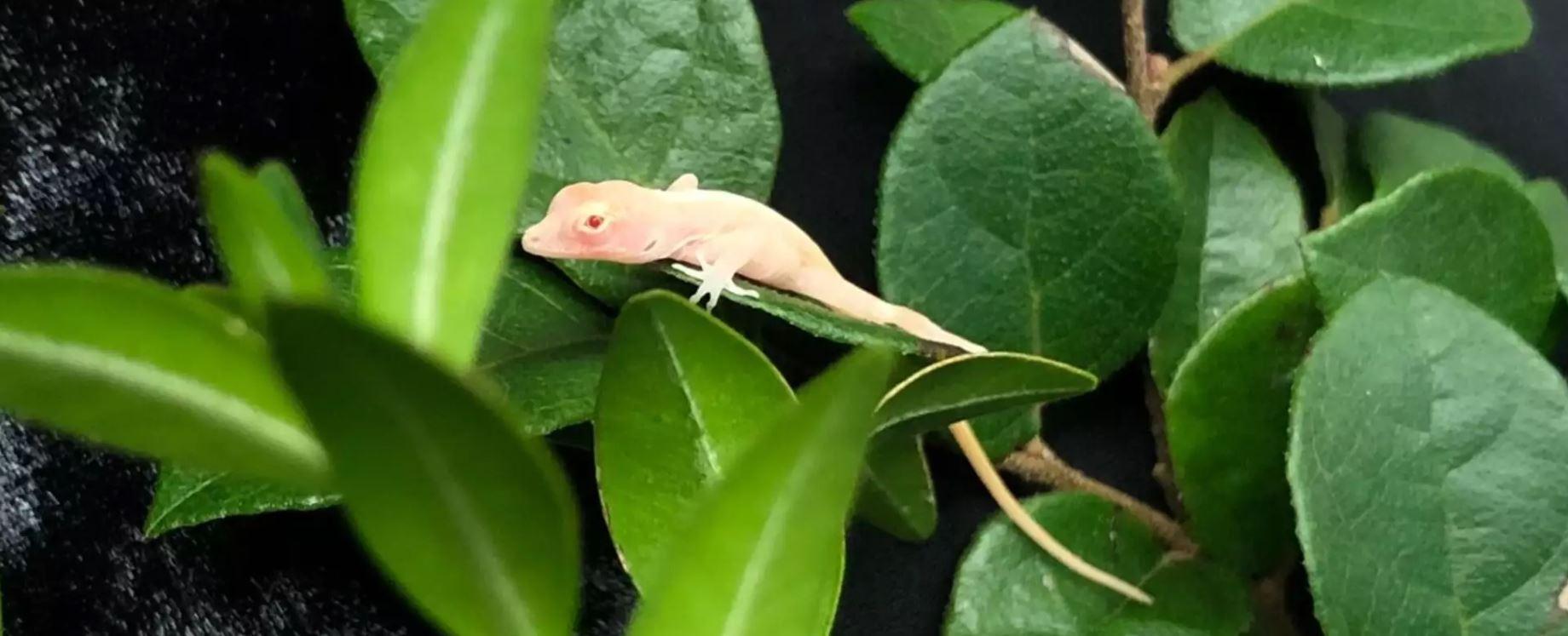 CRISPR lizard 1